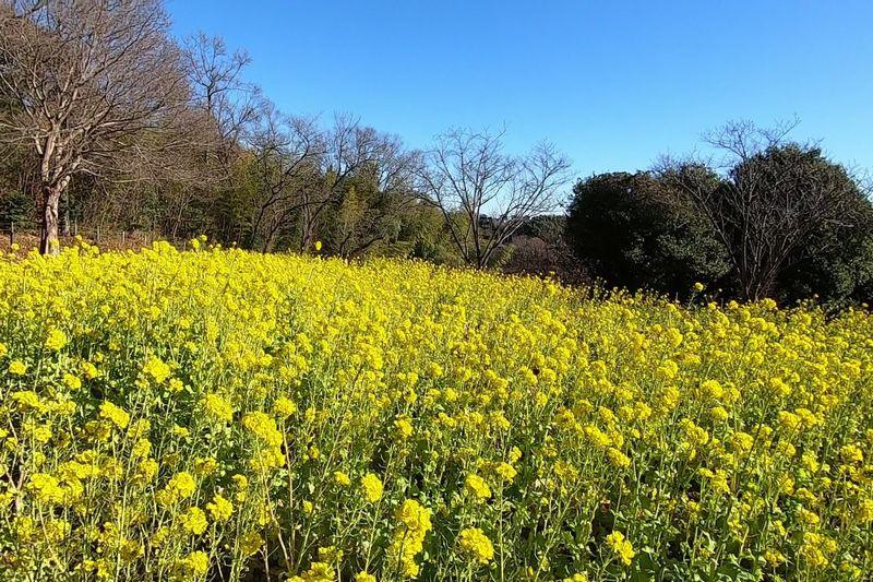 茅ヶ崎里山公園 菜の花