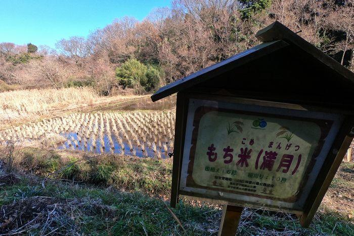 茅ヶ崎里山公園 もち麦