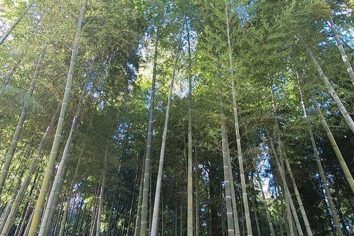茅ヶ崎里山公園 竹林