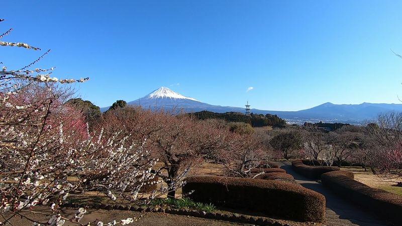 岩本山公園 梅 情報 2021年2月